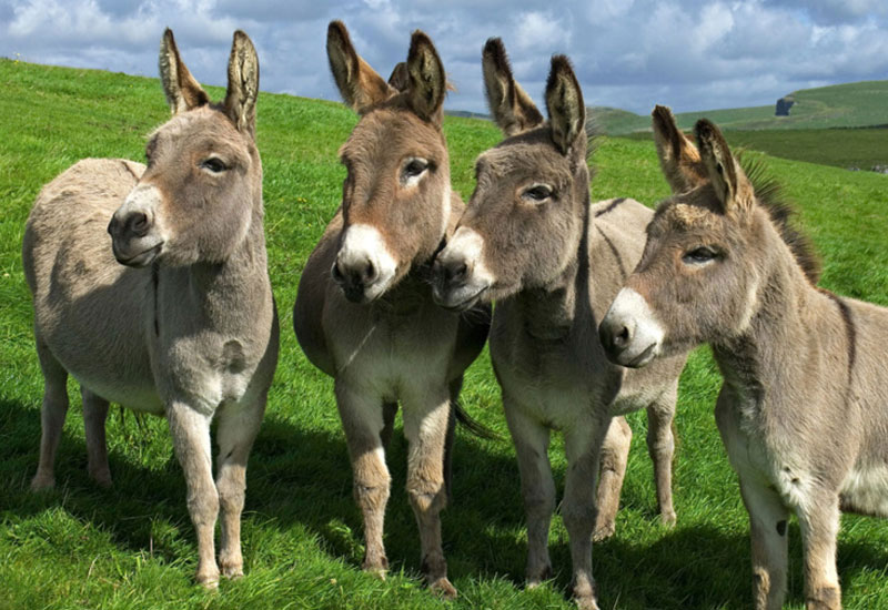 Walk for War Horse… with the Donkeys of Scotland leading the way
